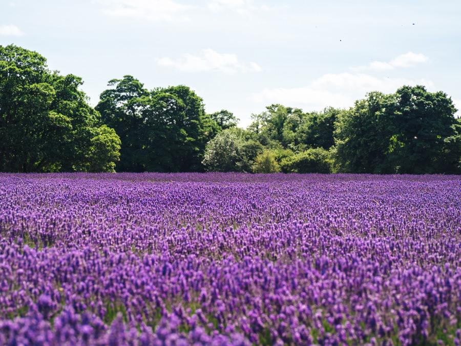 フリー写真 メイフィールド・ラベンダー畑の風景