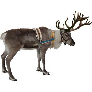 フリー写真, 動物, 哺乳類, トナカイ, 年中行事, クリスマス, 12月, 白背景