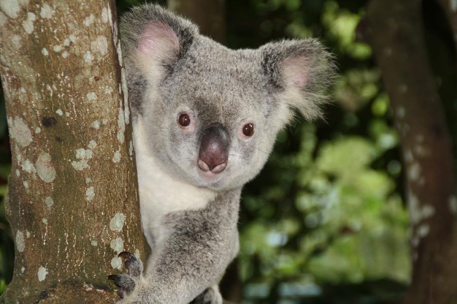 フリー写真 木にしがみつくコアラ