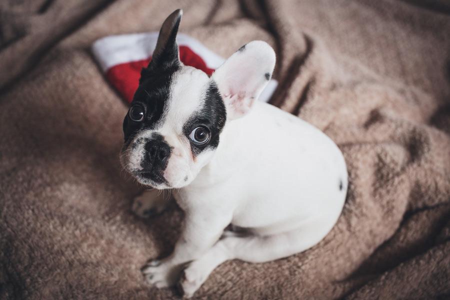 フリー写真 子犬のフレンチブルドッグ