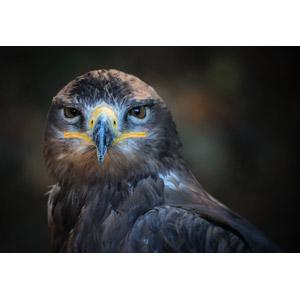 フリー写真, 動物, 鳥類, 猛禽類, ハリスホーク(モモアカノスリ), 鷹(タカ)