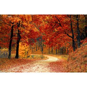 フリー写真, 風景, 森林, 紅葉(黄葉), 秋, 樹木, 小道