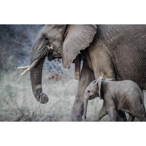 フリー写真, 動物, 哺乳類, 象(ゾウ), 親子(動物), 子供(動物)
