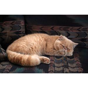 フリー写真, 動物, 哺乳類, 猫(ネコ), 寝る(動物), ペルシャ猫