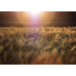 フリー写真, 風景, 太陽光(日光), 麦(ムギ), 畑, 穀物