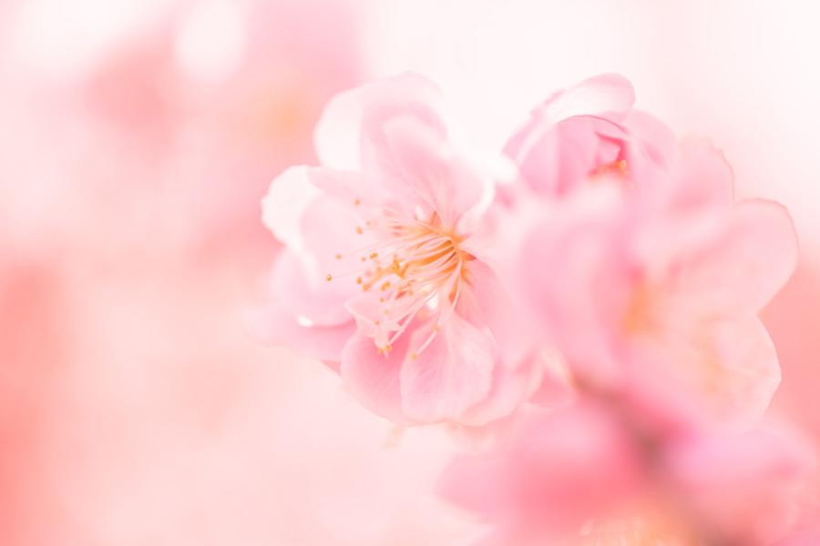 フリー写真 しだれ梅の花