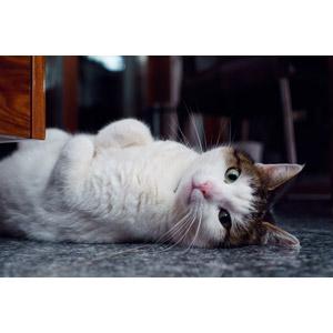 フリー写真, 動物, 哺乳類, 猫(ネコ), キジ白猫