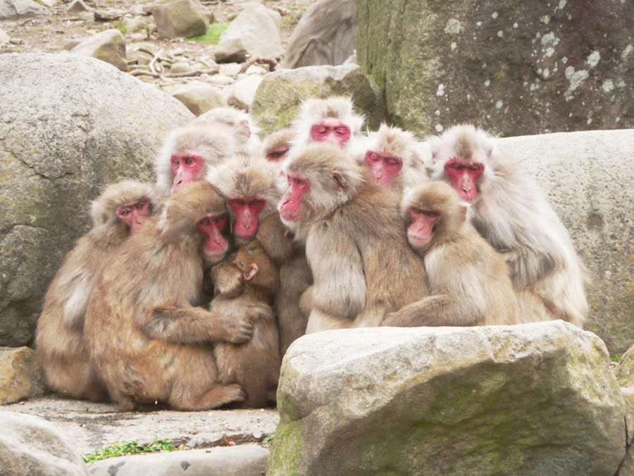 フリー写真 猿団子状態のニホンザルの群れ