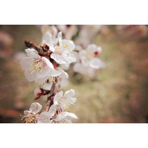 フリー写真, 植物, 花, 梅(ウメ), 白色の花, 春