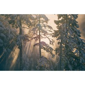 フリー写真, 風景, 自然, 森林, 樹木, 雪, 冬, 薄明光線, 太陽光(日光)