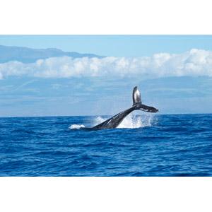 フリー写真, 動物, 哺乳類, 鯨(クジラ), 跳ぶ(ジャンプ), 海, マウイ島