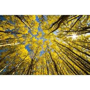 フリー写真, 風景, 自然, 森林, 樹木, 紅葉(黄葉), 秋, 太陽光(日光), 黄色(イエロー)