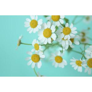 フリー写真, 植物, 花, 白色の花, 野路菊(ノジギク)