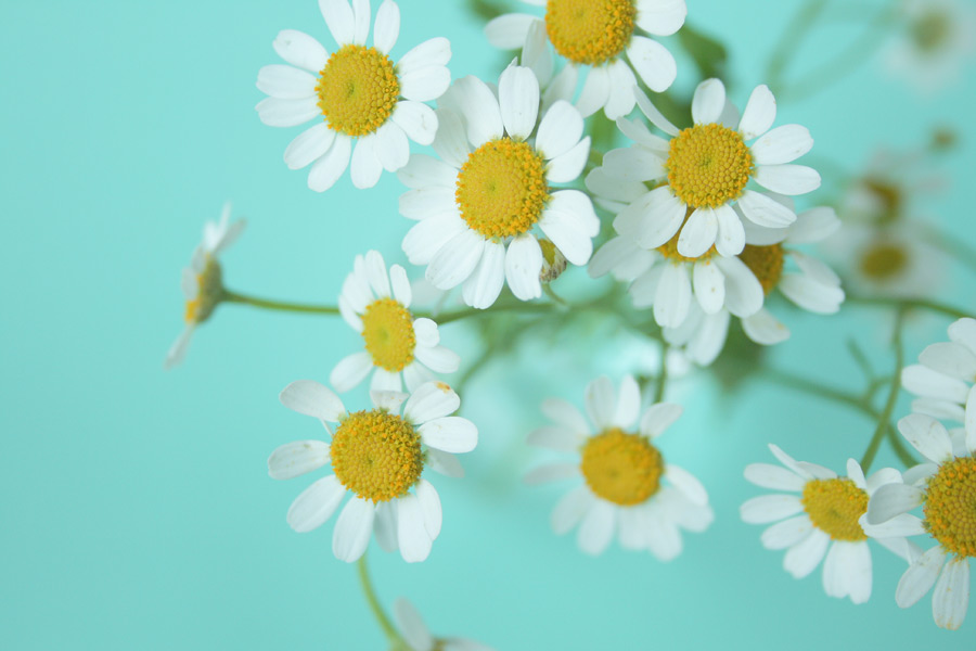 フリー写真 ノジギクの花