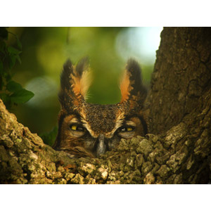 フリー写真, 動物, 鳥類, 猛禽類, 梟(フクロウ), アメリカワシミミズク, 覗く(動物), 隠れる(動物)