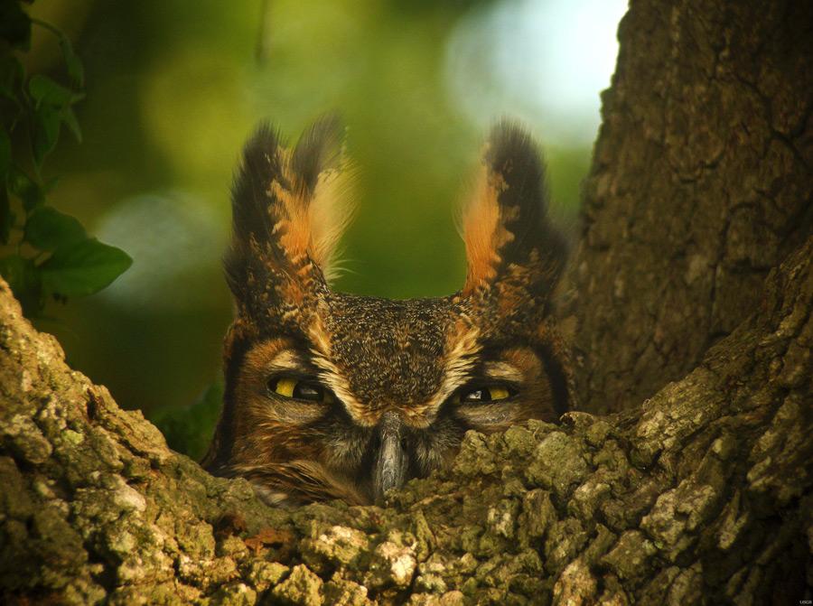 フリー写真 木から顔を出すアメリカワシミミズク
