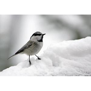 フリー写真, 動物, 鳥類, 鳥(トリ), コガラ, マミジロコガラ, 雪, 冬