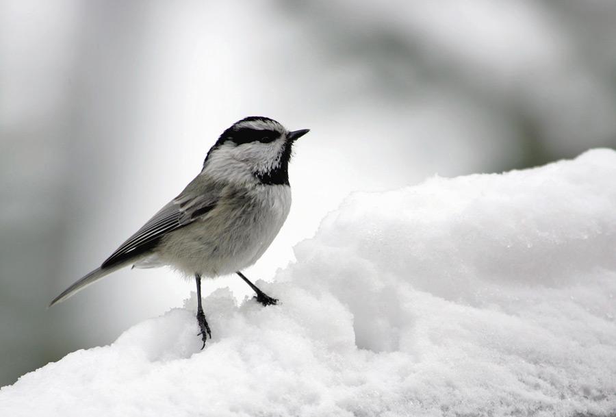 フリー写真 マミジロコガラと雪
