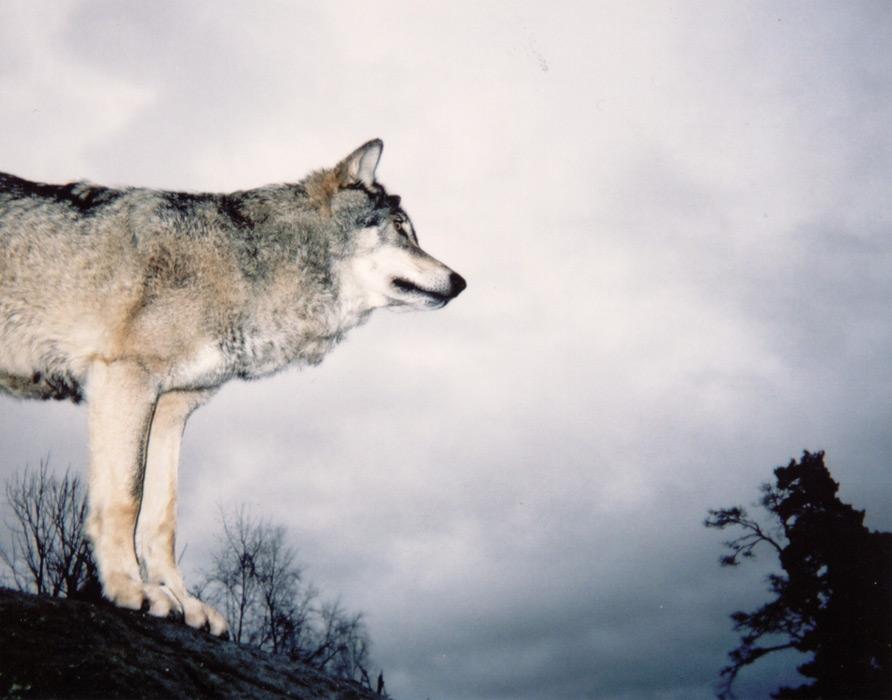 フリー写真 横を向いているオオカミ
