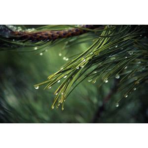 フリー写真, 植物, 松(マツ), 水滴(雫)