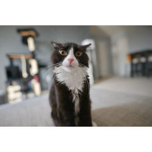 フリー写真, 動物, 哺乳類, 猫(ネコ), 白黒猫