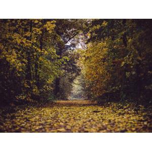 フリー写真, 風景, 自然, 森林, 樹木, 小道, 紅葉(黄葉), 秋