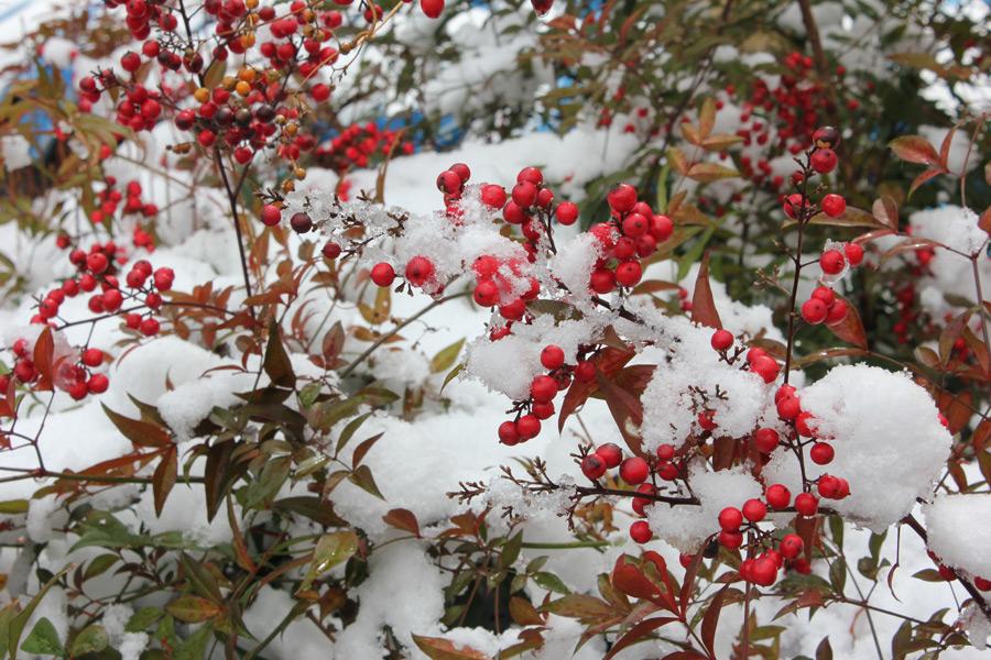 フリー写真 雪と南天の実