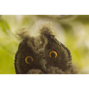 フリー写真, 動物, 鳥類, 猛禽類, 梟(フクロウ), 動物の顔