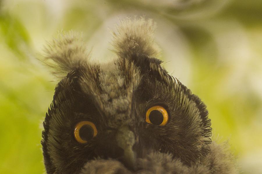 フリー写真 フクロウの顔