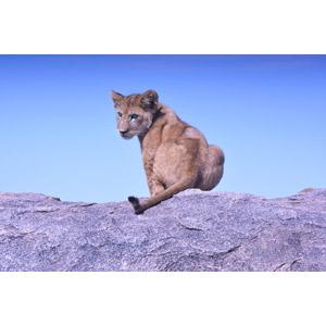 フリー写真, 動物, 哺乳類, ライオン, 子供(動物)