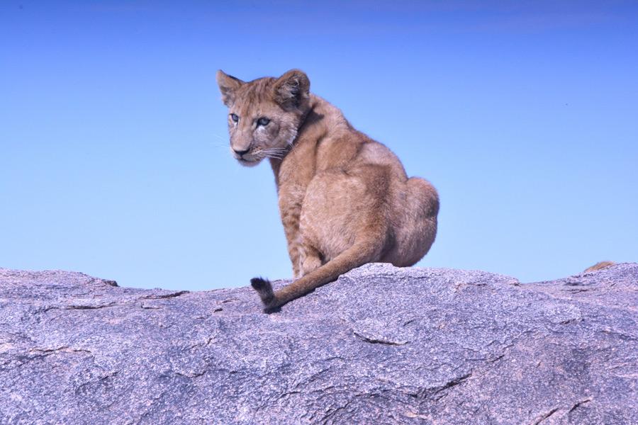 フリー写真 振り返る子ライオン