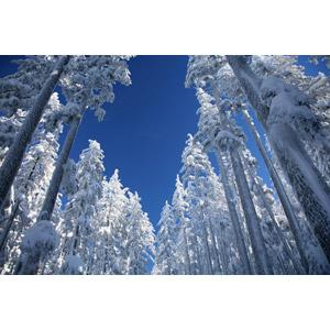 フリー写真, 風景, 自然, 森林, 樹木, 雪, 冬, デシューツ国立森林公園, アメリカの風景, オレゴン州