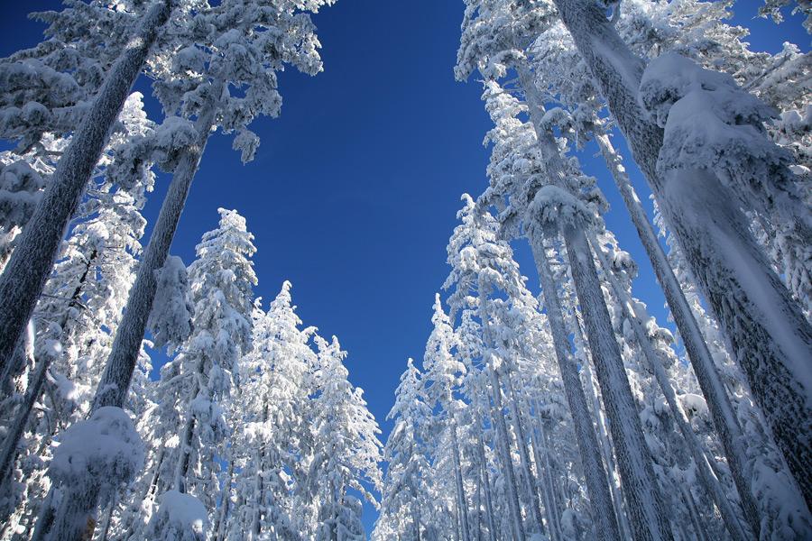 フリー写真 雪を被る森の木々の風景
