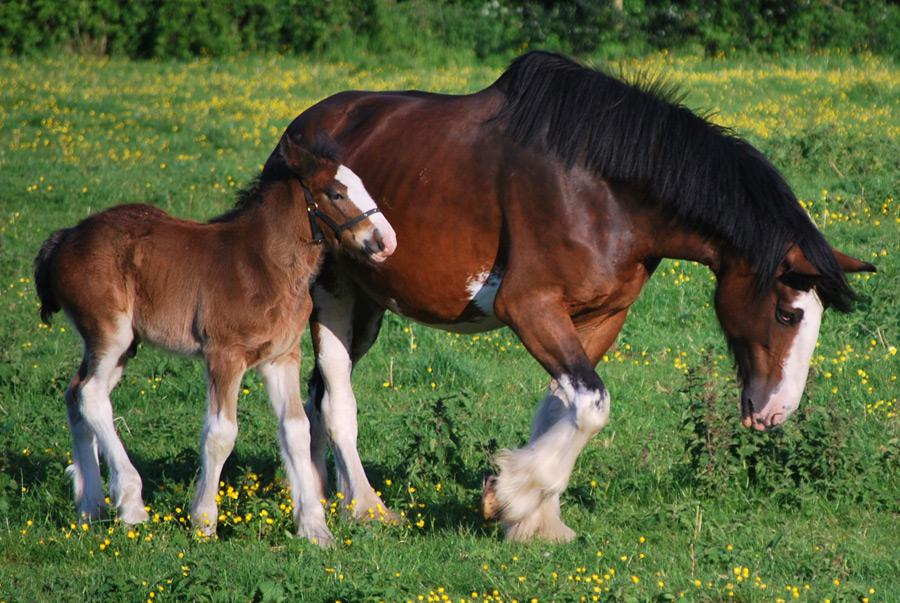 フリー写真 クライズデール種の馬の親子