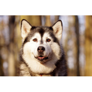 フリー写真, 動物, 哺乳類, 犬(イヌ), シベリアン・ハスキー