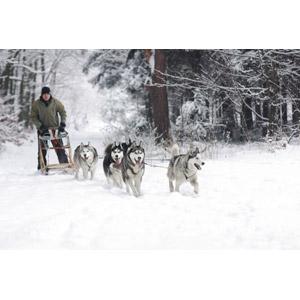 フリー写真, 動物, 哺乳類, 犬(イヌ), シベリアン・ハスキー, ソリ, 犬ぞり, 人と動物, 雪, 冬