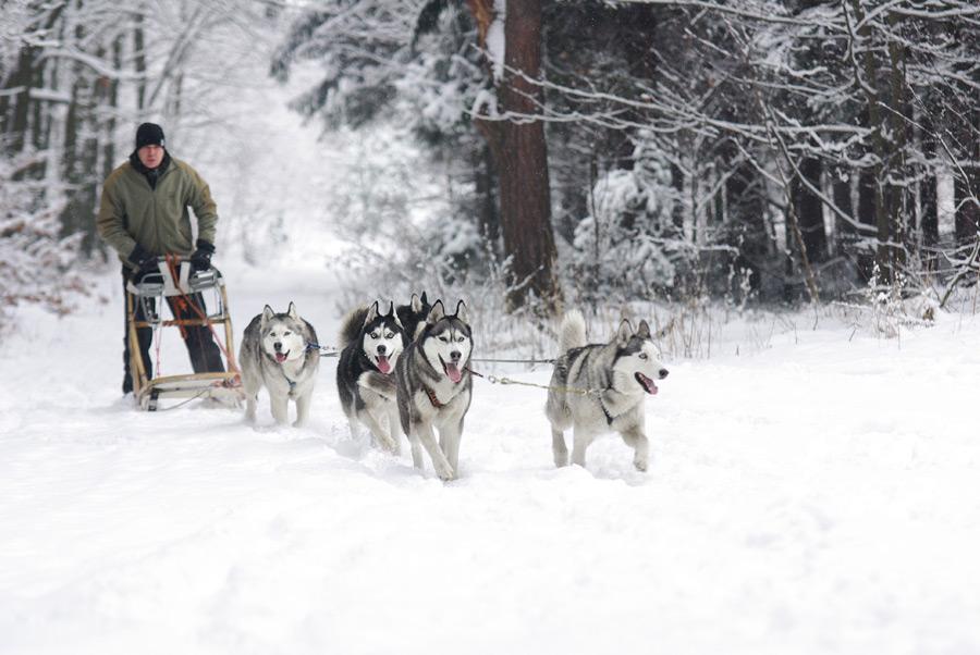 フリー写真 雪の中を進む犬ぞり