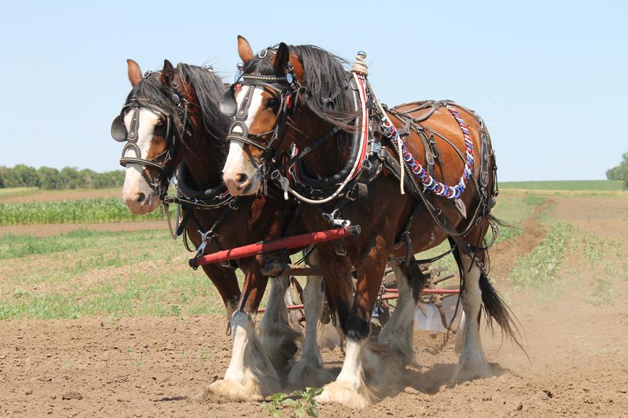 フリー写真 畑を耕す二匹の馬