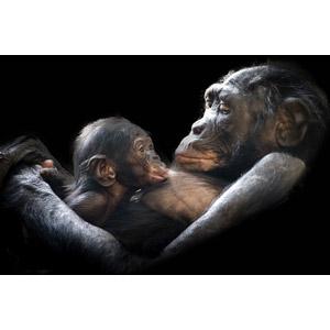 フリー写真, 動物, 哺乳類, 猿(サル), ゴリラ, 子供(動物), 親子(動物), 授乳, 黒背景