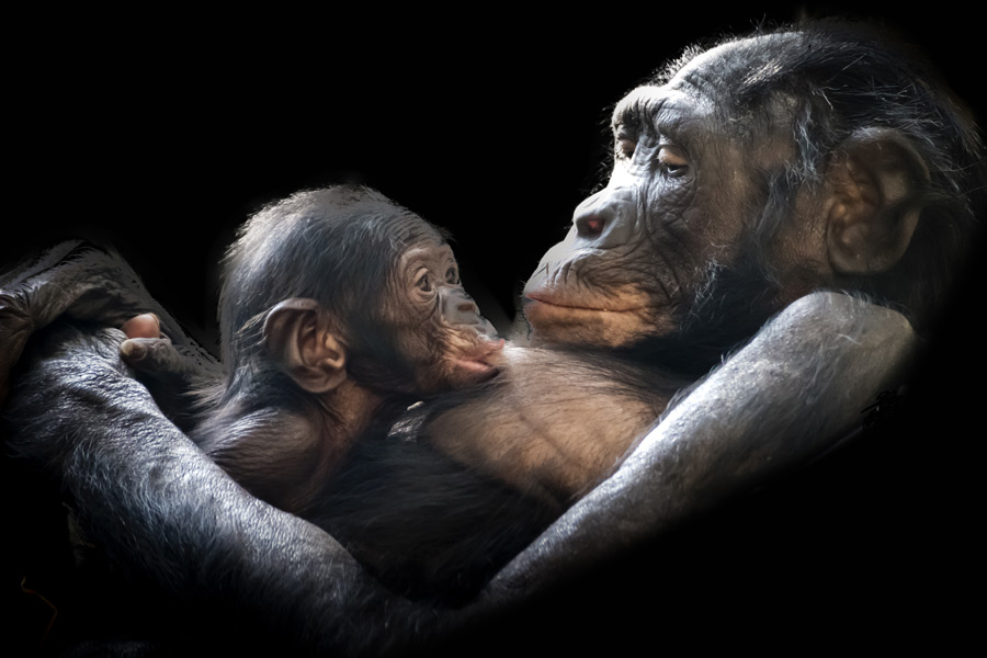 フリー写真 授乳中の母ゴリラと子ゴリラ