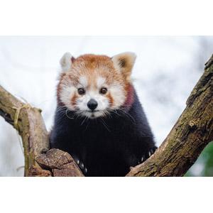 フリー写真, 動物, 哺乳類, レッサーパンダ