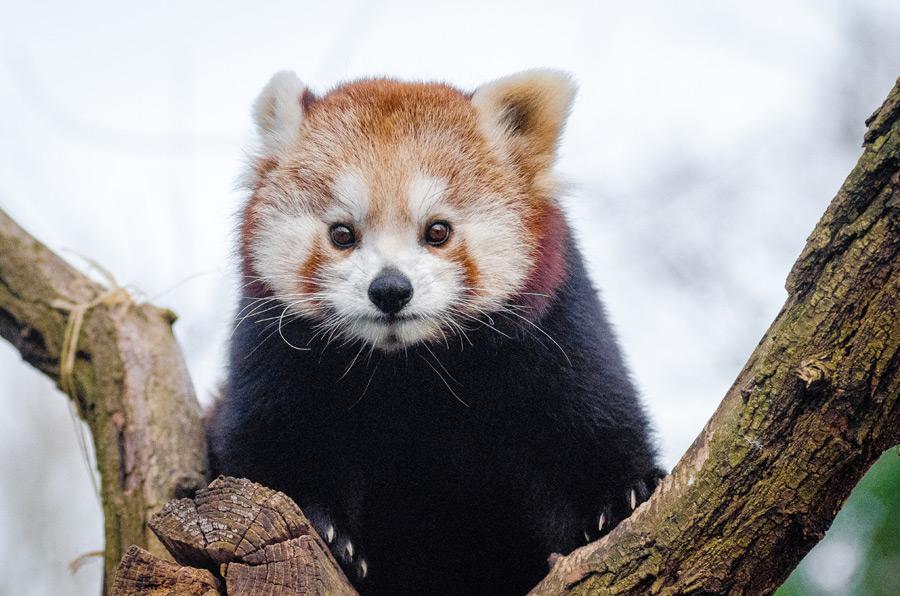 フリー写真 木の上のレッサーパンダ