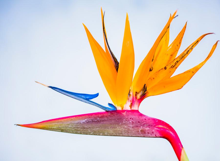 フリー写真 極楽鳥花