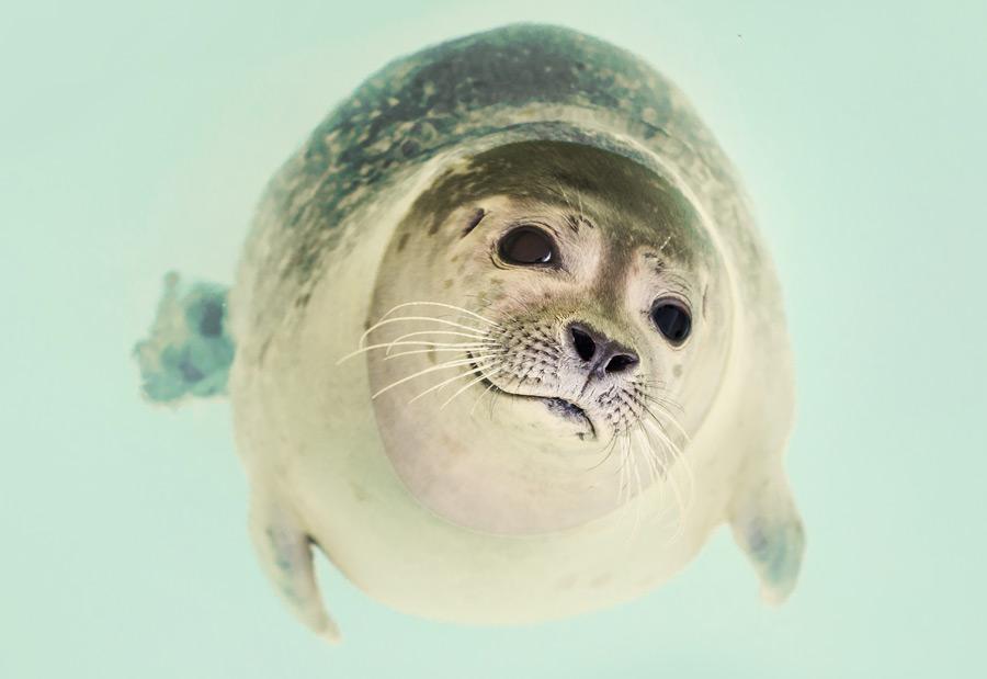フリー写真 水面に浮かぶアザラシ