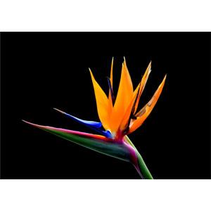 フリー写真, 植物, 花, 極楽鳥花(ゴクラクチョウカ), 黒背景