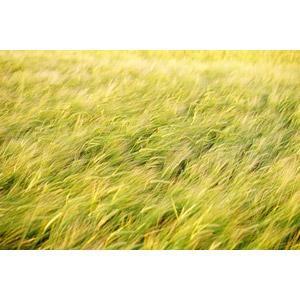 フリー写真, 風景, 畑, 作物, 穀物, 麦(ムギ)