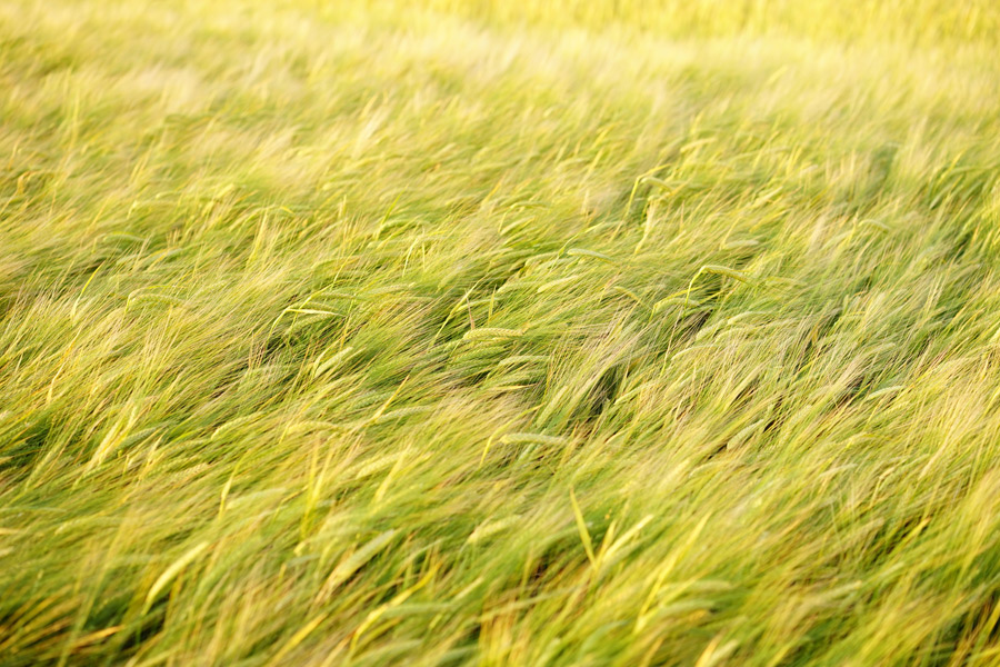 フリー写真 麦畑