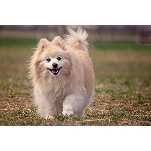 フリー写真, 動物, 哺乳類, 犬(イヌ), ポメラニアン