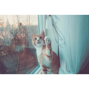 フリー写真, 動物, 哺乳類, 猫(ネコ), 茶白猫, 猫パンチ