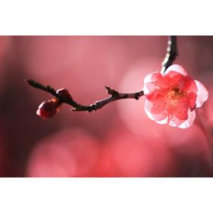 フリー写真, 花, 梅(ウメ), 蕾(つぼみ), 枝, 春, ピンク色の花
